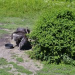Ostriches in the African section taking some shelter in the shade of the bush.