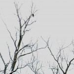 Look closely! That's more than a spec in that tree! It's a Bald Eagle...just wish we would have had a telephoto lense!