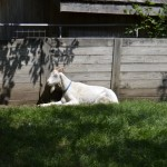 A long horned goat poses for a picture in the sun.