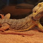 Walter the Bearded Dragon is a modern day dino!
