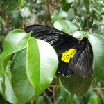 Beautiful hidden yellow was revealed on this butterfly's wings when it was opened.