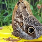 Blue Morpho eating a puree banana paste for some essential fructose to keep them energized.