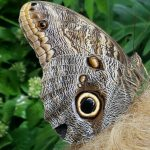 Close-up of the Blue Morpho and Rhonda.