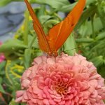 Orange butterfly resting on a flower drinking nectar.