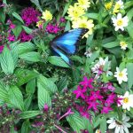 Bright blue butterfly for your viewing pleasure.