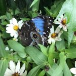 Beautiful blue and black butterfly for your viewing pleasure.